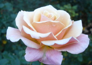 natural blooming pink rose